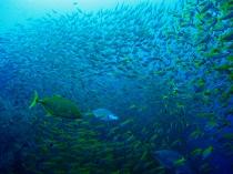 タオ島 ダイビング 魚 キンセンフエダイ 群れ