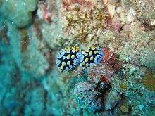タオ島 ダイビング イボウミウシ