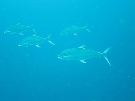 タオ島 ダイビング オオクチイケカツオ セイルロック