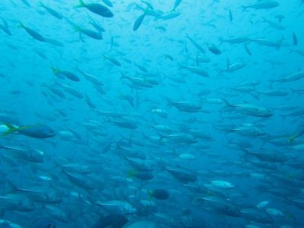 タオ島 ダイビング ギンガメアジ セイルロック