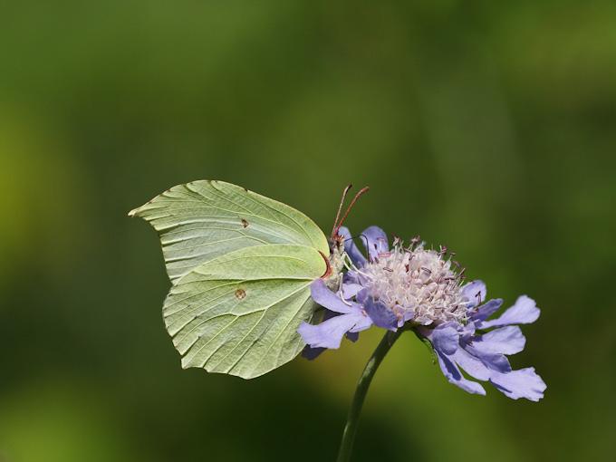 スジボソヤマキチョウ:マツムシソウの花に