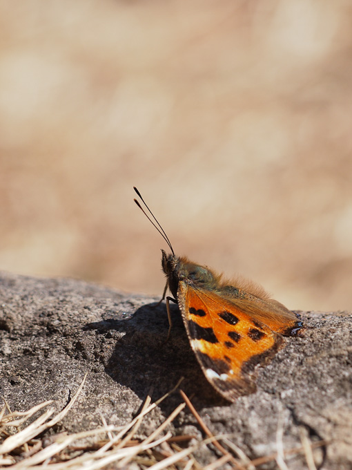 ヒオドシチョウ:日光浴中の越冬個体