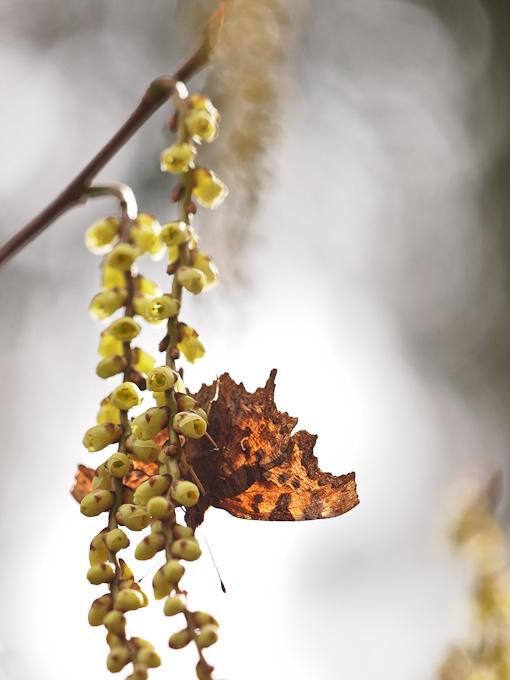 シータテハ:キブシ咲く