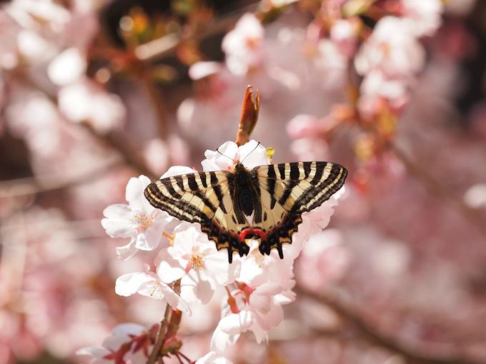 ヒメギフチョウ:桜の花へ
