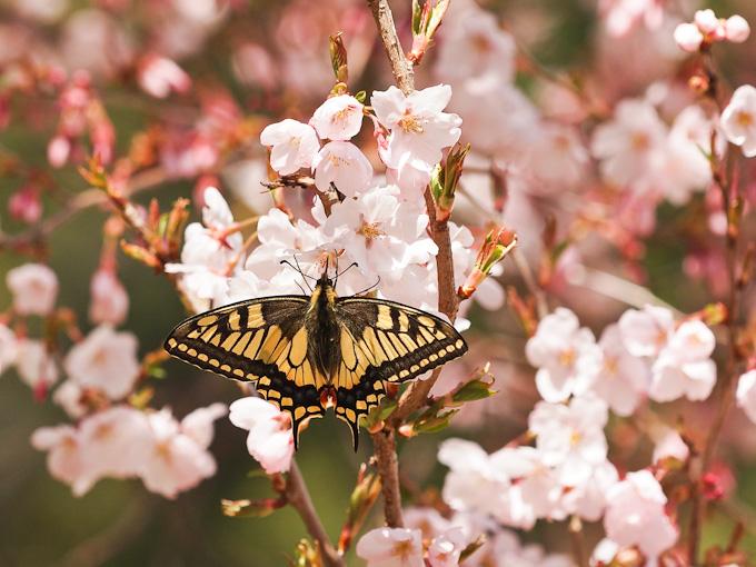 キアゲハ:桜での吸蜜