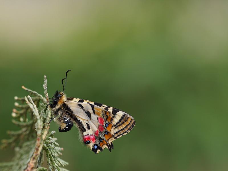 ヒメギフチョウ:翅裏