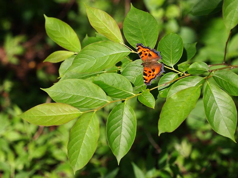 ヒオドシチョウ:広葉樹の葉の上に