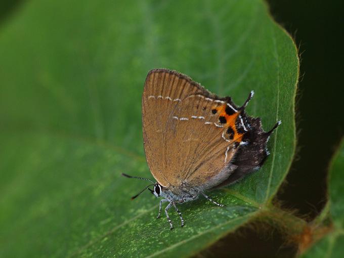 ミヤマカラスシジミ:わずかに見える翅表