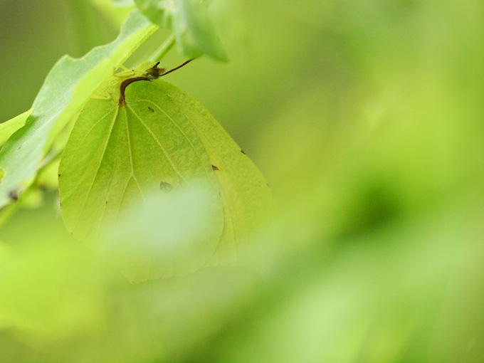 スジボソヤマキチョウ:葉裏でお休みモード
