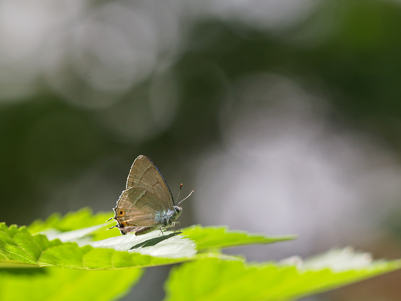 オオミドリシジミ:梅雨明けの光の中
