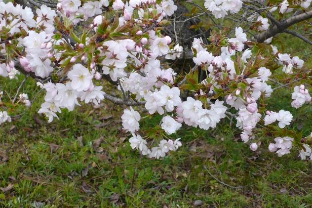 mikuruma2御所御車返しの桜