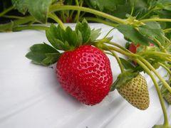 [写真]今年一番の真っ赤なイチゴ