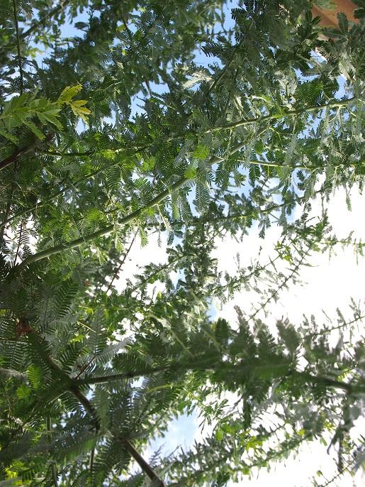 ミモザの木陰