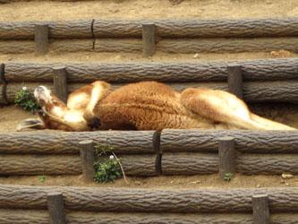 眠ーいガルー