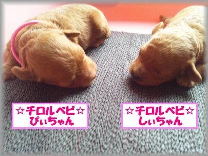 DSC_1477 20120715 チロルベビ♀
