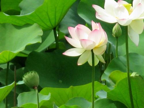 lotus_201307050919.jpg