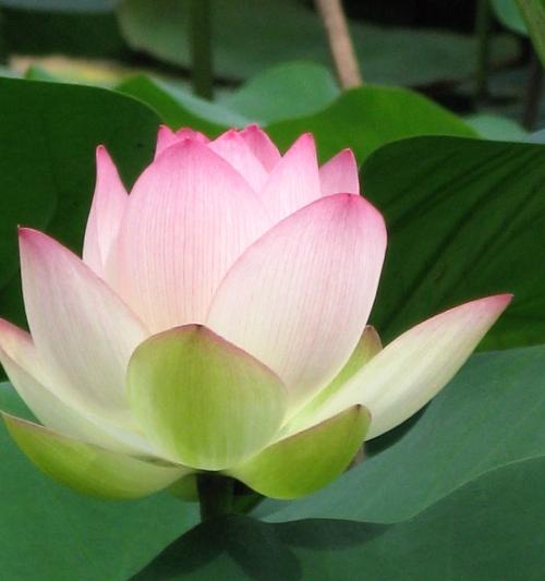 lotus_201307050922.jpg