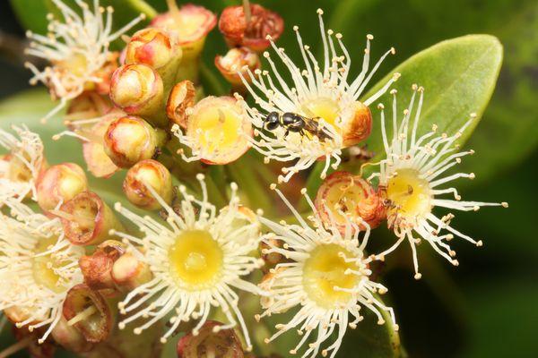 ヒメフトモモとキムネメンハナバチ