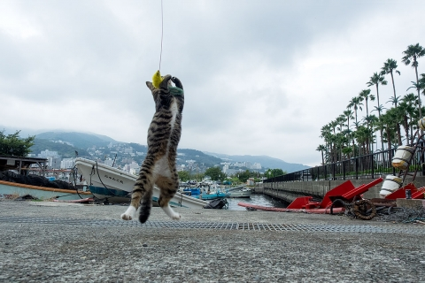 猫じゃらしで遊ぶキジトラ