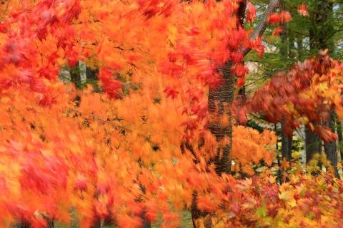 風に揺れる紅葉