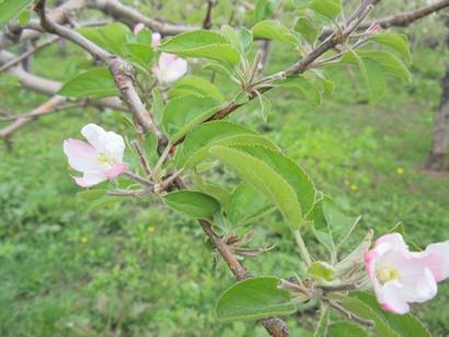 りんごの花摘み・・・