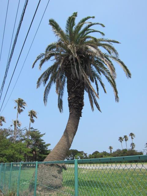 ヤシの木l11