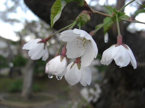 CIMG6569桜