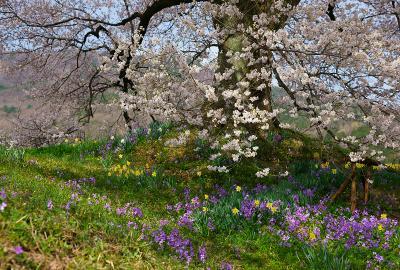 わに塚の桜の根元