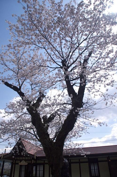 大井川鐵道 桜風景