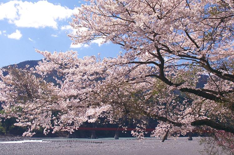大井川鐵道の春 3