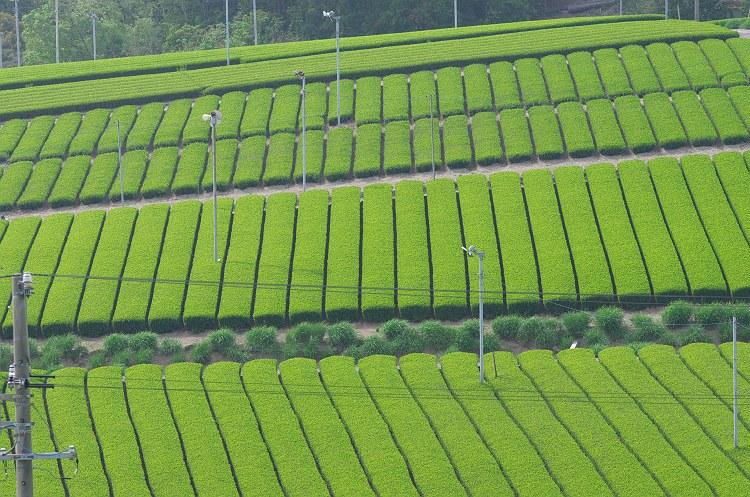 静岡は新茶の季節