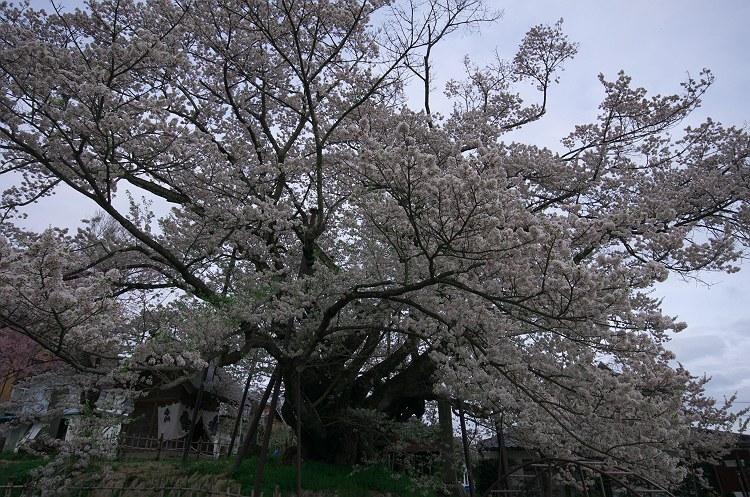 素桜神社の神代桜 二