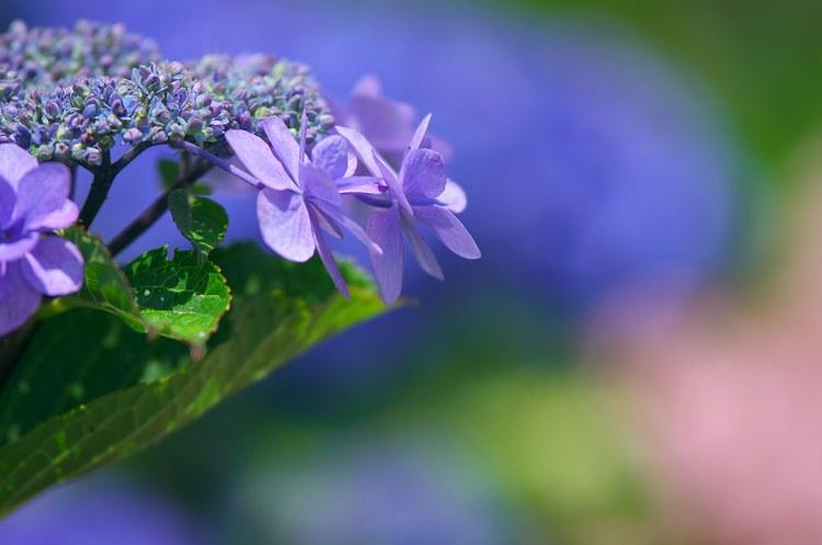 紫陽花咲く季節 3
