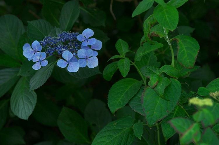 紫陽花咲く季節 5