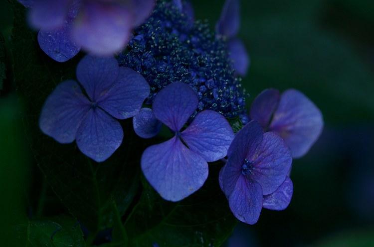 紫陽花咲く季節 6