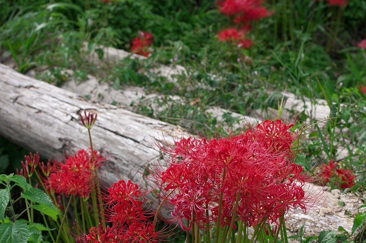 彼岸花が咲く風景 3