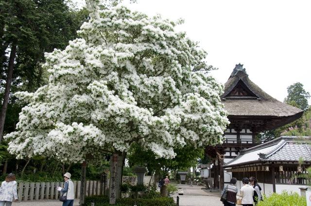 安土町沙沙貴神社 なんじゃもんじゃ(ヒトツバタゴ)