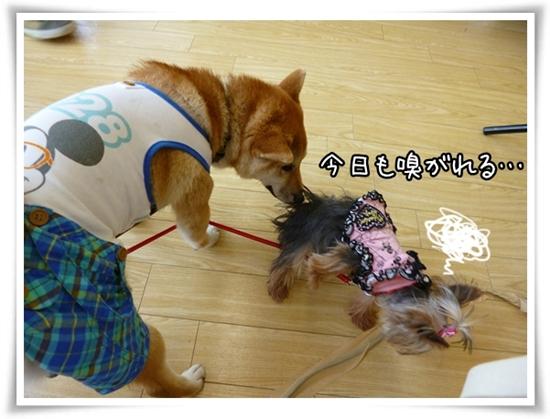 柴犬&あずき