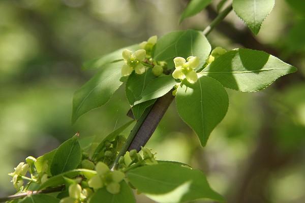 ニシキギ ( 錦木 )