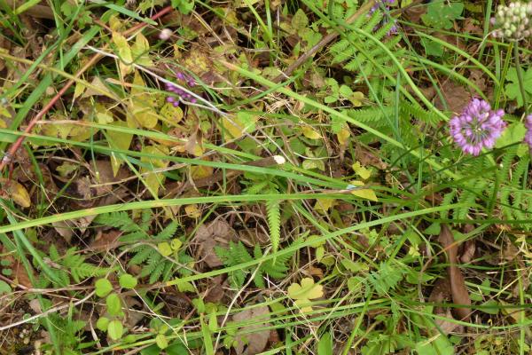 タマムラサキ ( 玉紫 )