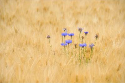 麦畑と矢車草