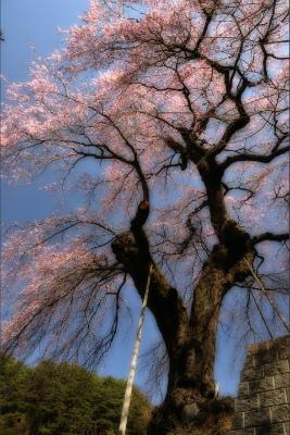 西光のしだれ桜