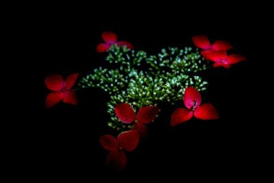 紅(紫陽花)