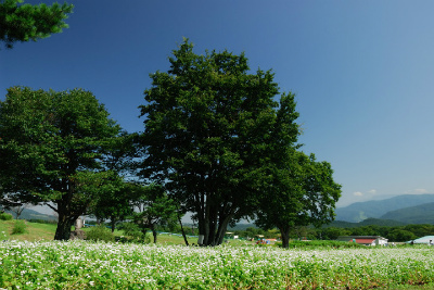 黒姫高原のコスモス園