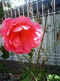 薔薇 ハーバリスト