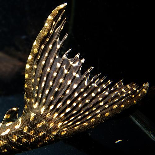 オレンジスポットセルフィン (6)