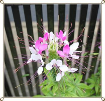 クレオメ_紫×白120713