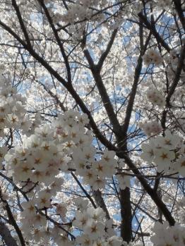20120428畑の桜満開2