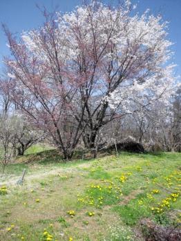 20120428畑の桜満開0