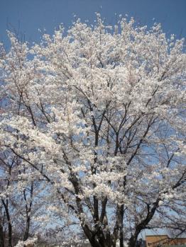 20120428畑の桜満開